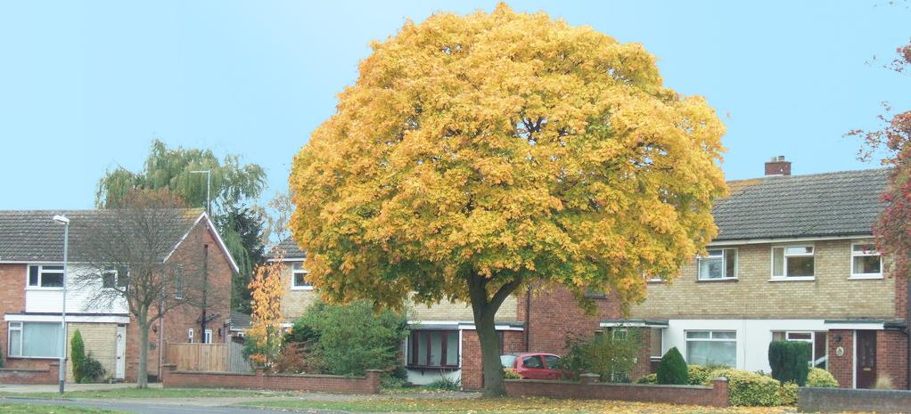 A Peterborough tree